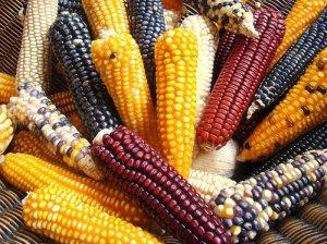 Diferentes tipos de maíz mesoamericano.