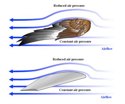 Esquema donde se refleja la relación entre aerodinámica y fuerza de sustentación en las alas tanto de animales como de aviones.